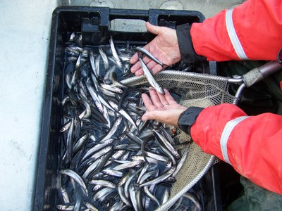 Illegally Introduced Smelt in Big Wadleigh Pond Maine