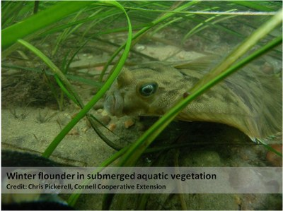Winter_Flounder_in_SAV