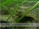 Winter Flounder (Psuedoleuronectes americanus)