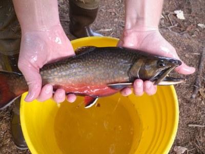 Greenough Pond male brook trout 2011.JPG